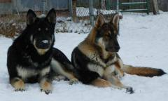 blakc and silver and sable german shepherds
