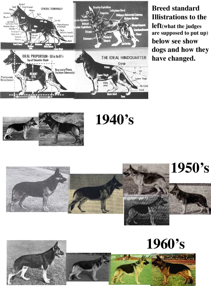 german shepherd standard