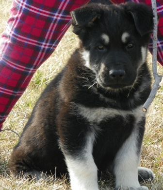 Huge black and silver german shepherd puppies