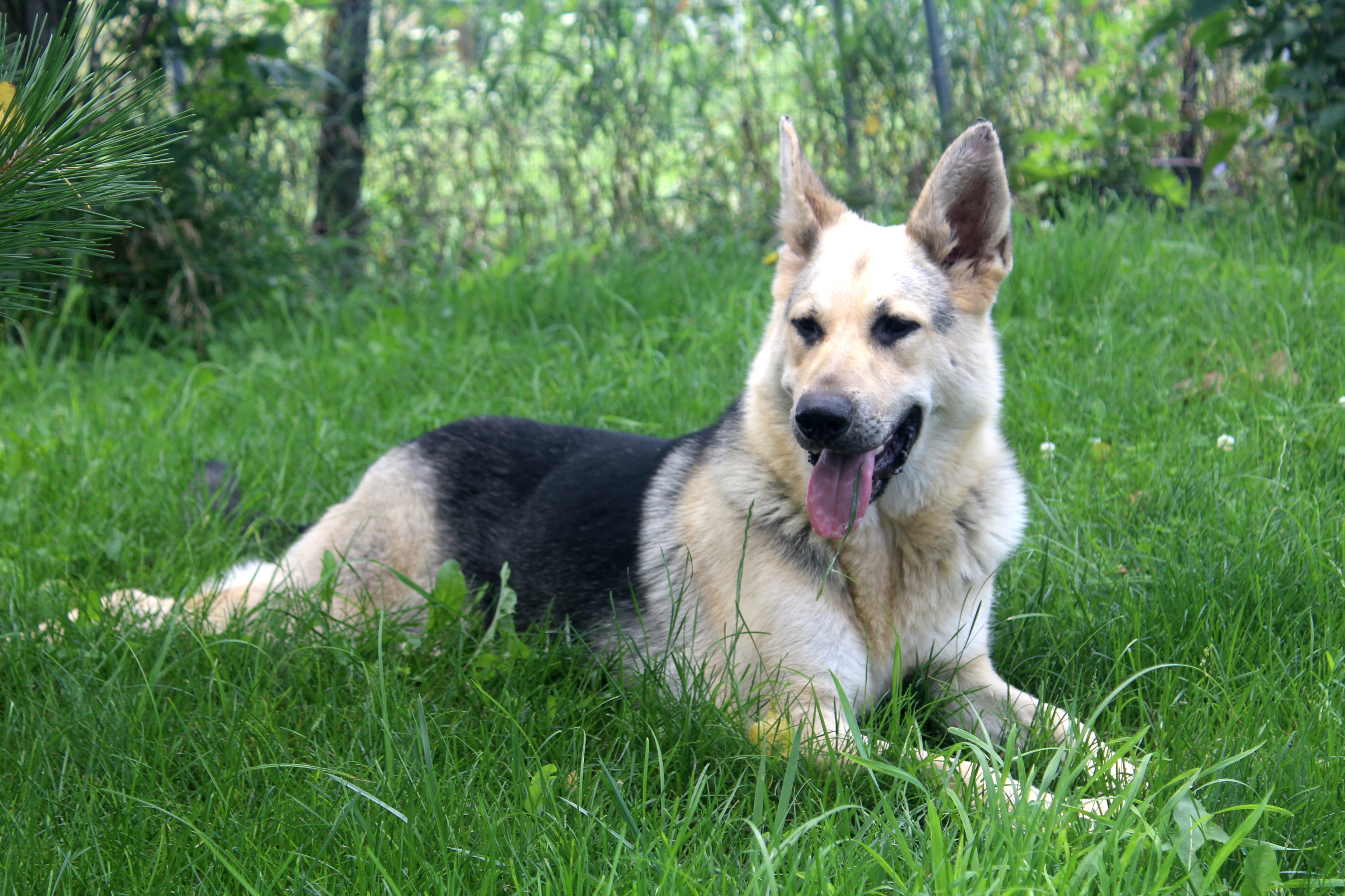 cream german shepehrds