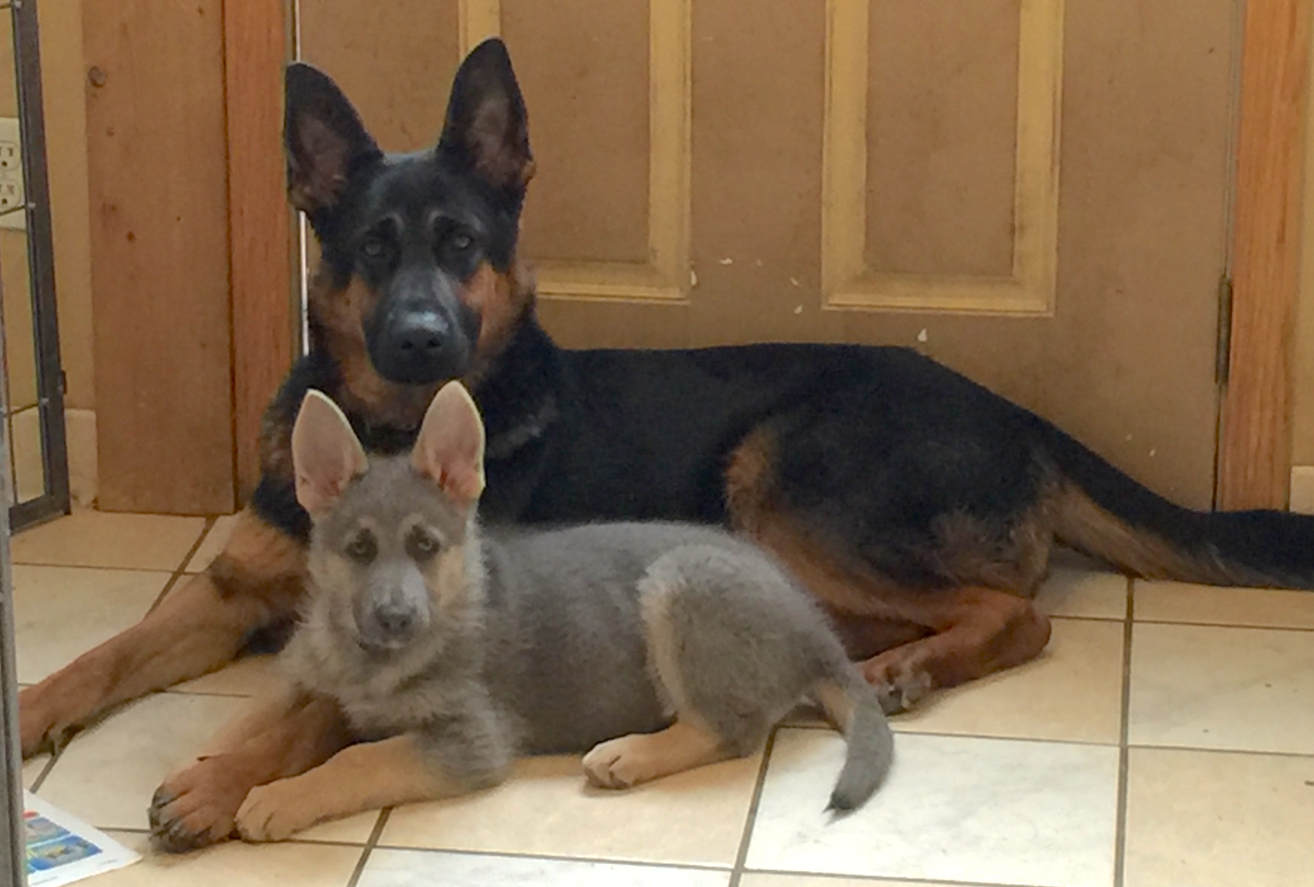 black and red and blue and tan german shepherds for sale