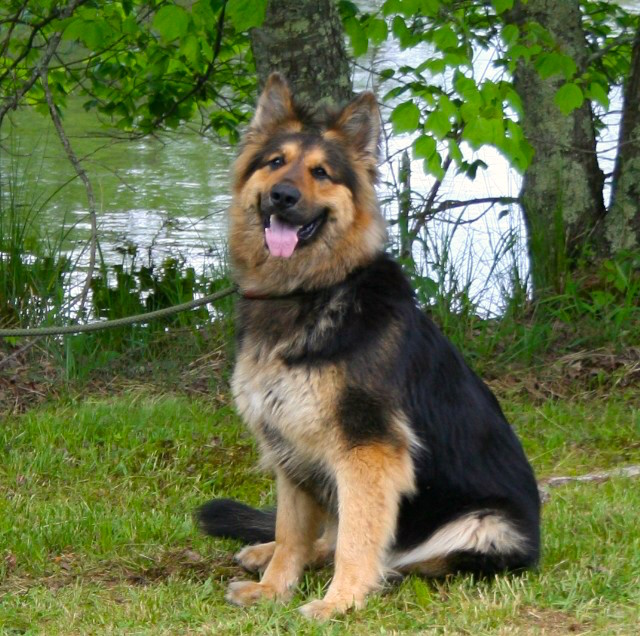 huge OFGA excellent black and red gsd