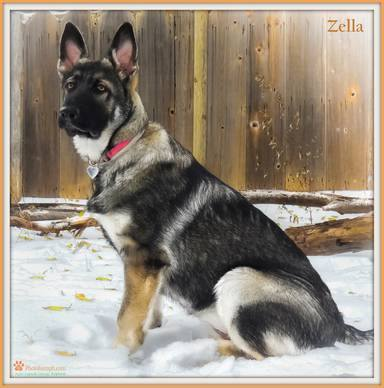 181 best images about unusual colors and coats in dogs on ... |Tri Color German Shepherd Breeders