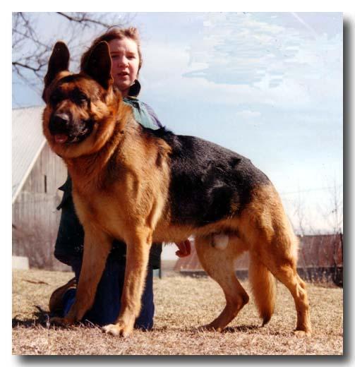 large black and red German Shepherd