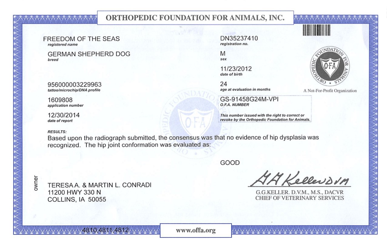 Large german shepherds who are OFA certified
