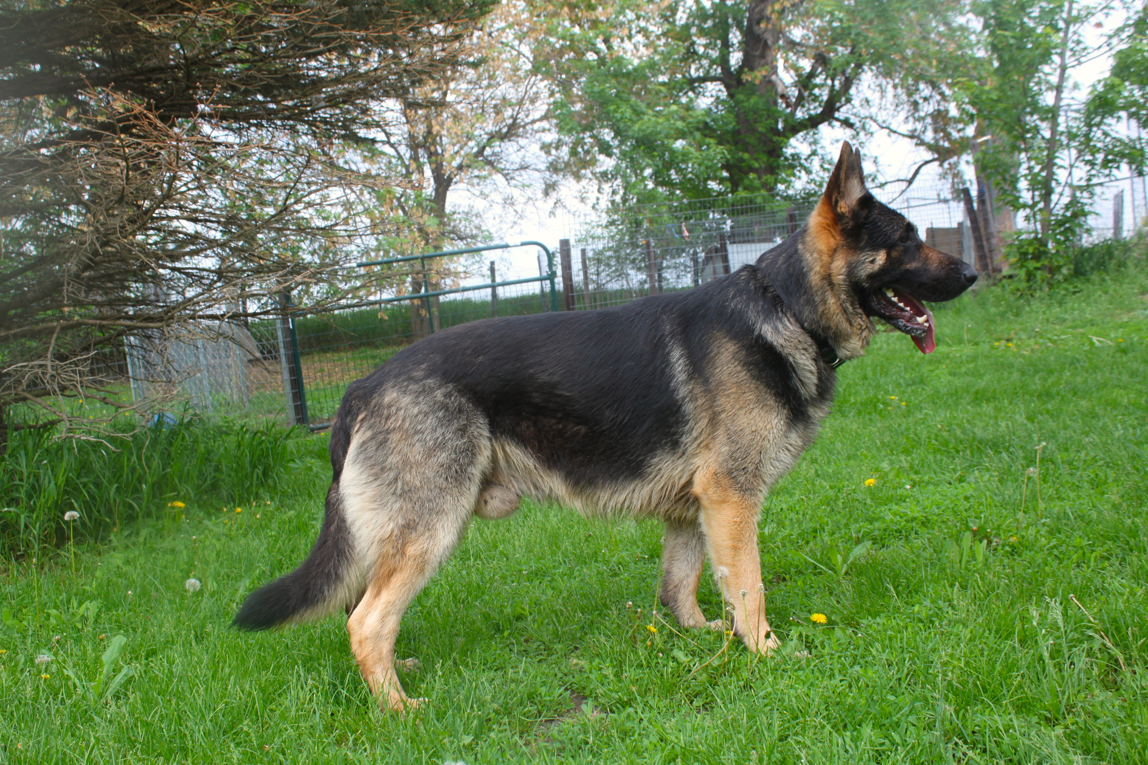 Huge black and tan german shepherd