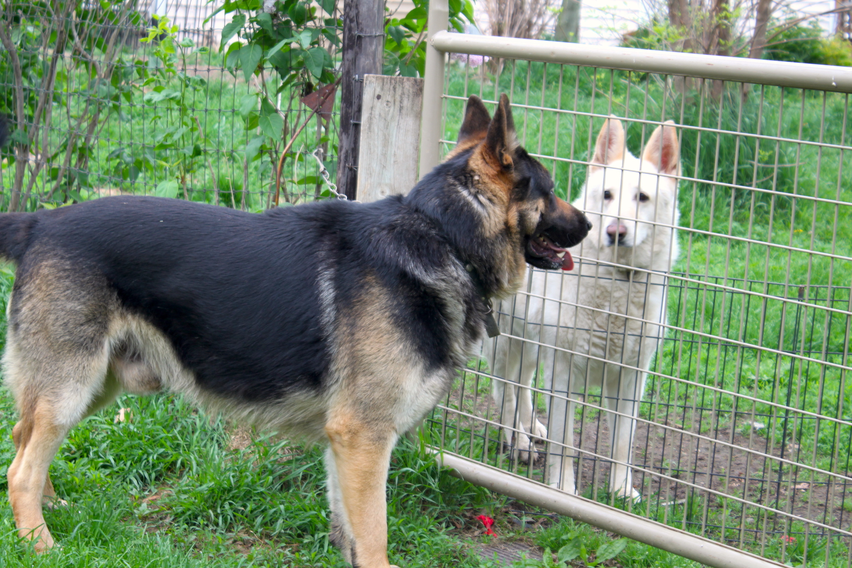 Large germsn shepherds who are not Overweight!