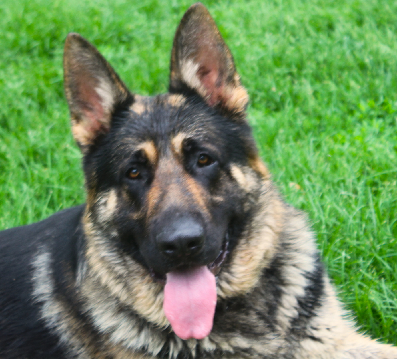illionois german shepherds for sale