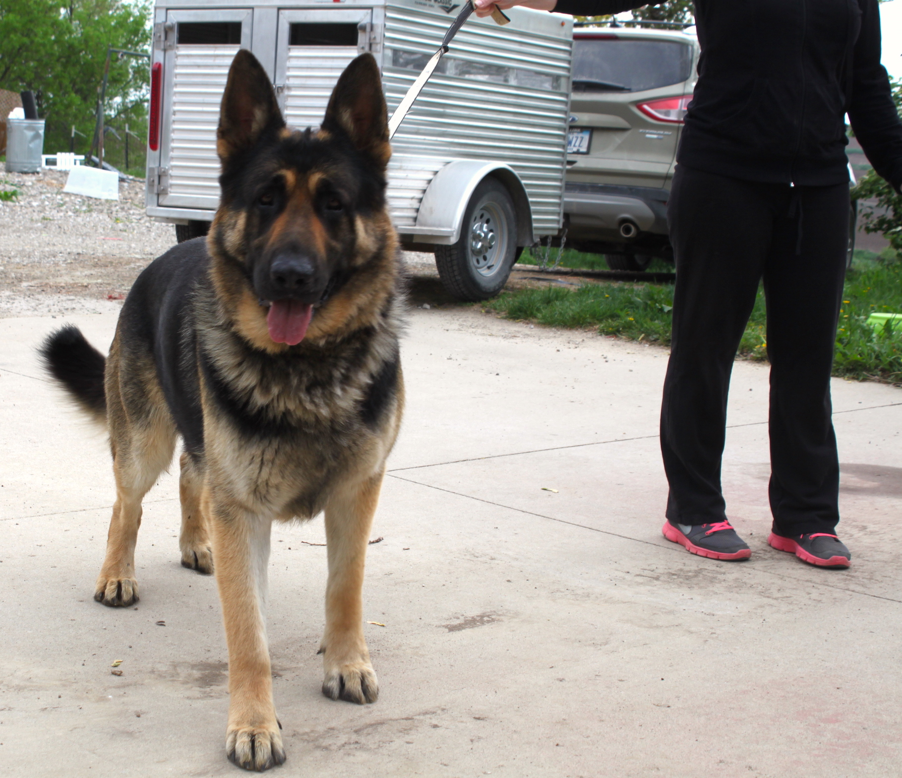 Huge german shepherds for sale in Iowa