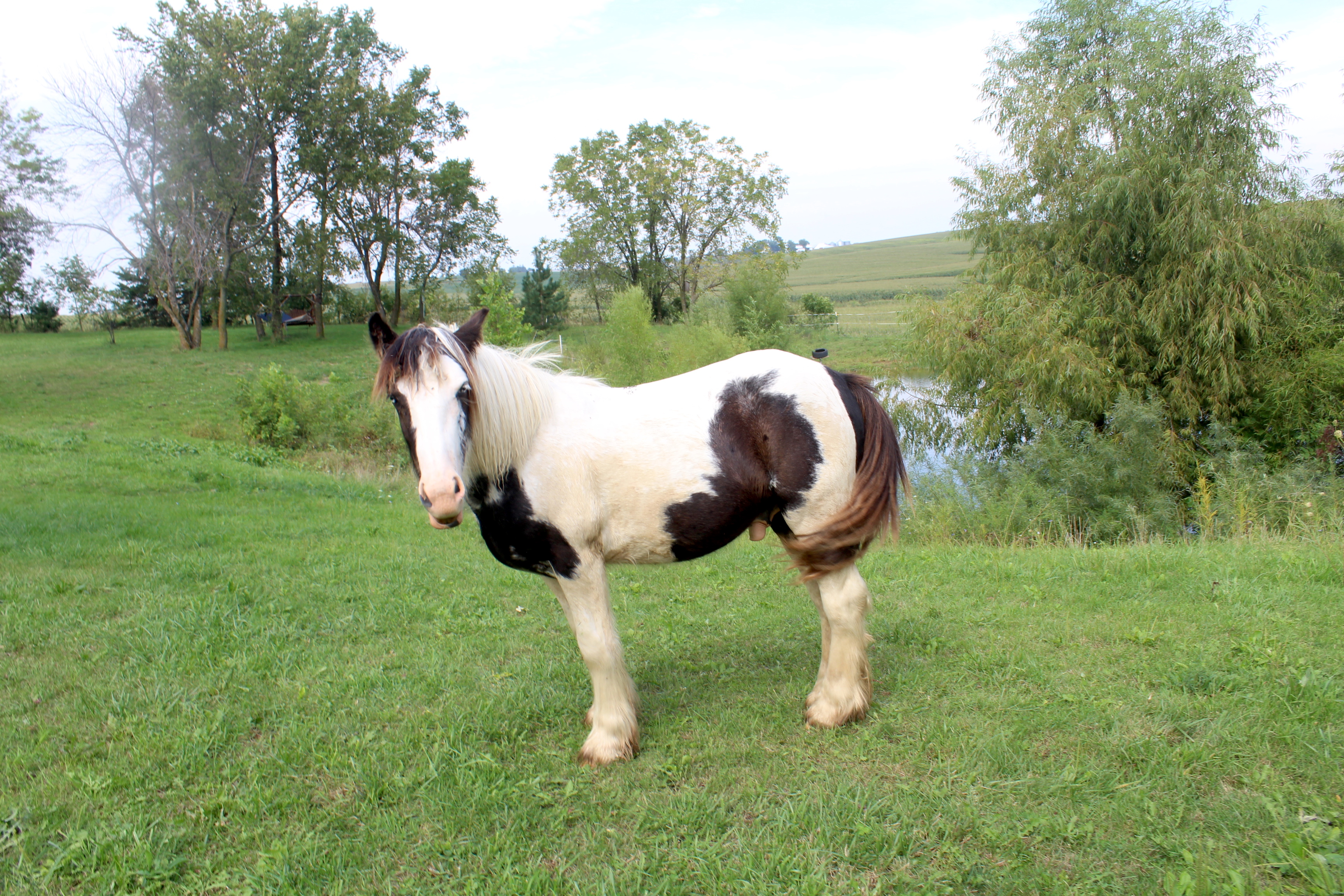 gypsy vanner for sale in iowa