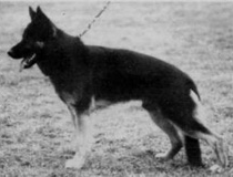 oldstyle german shepherd
