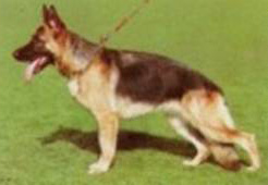 angulation german shepherd