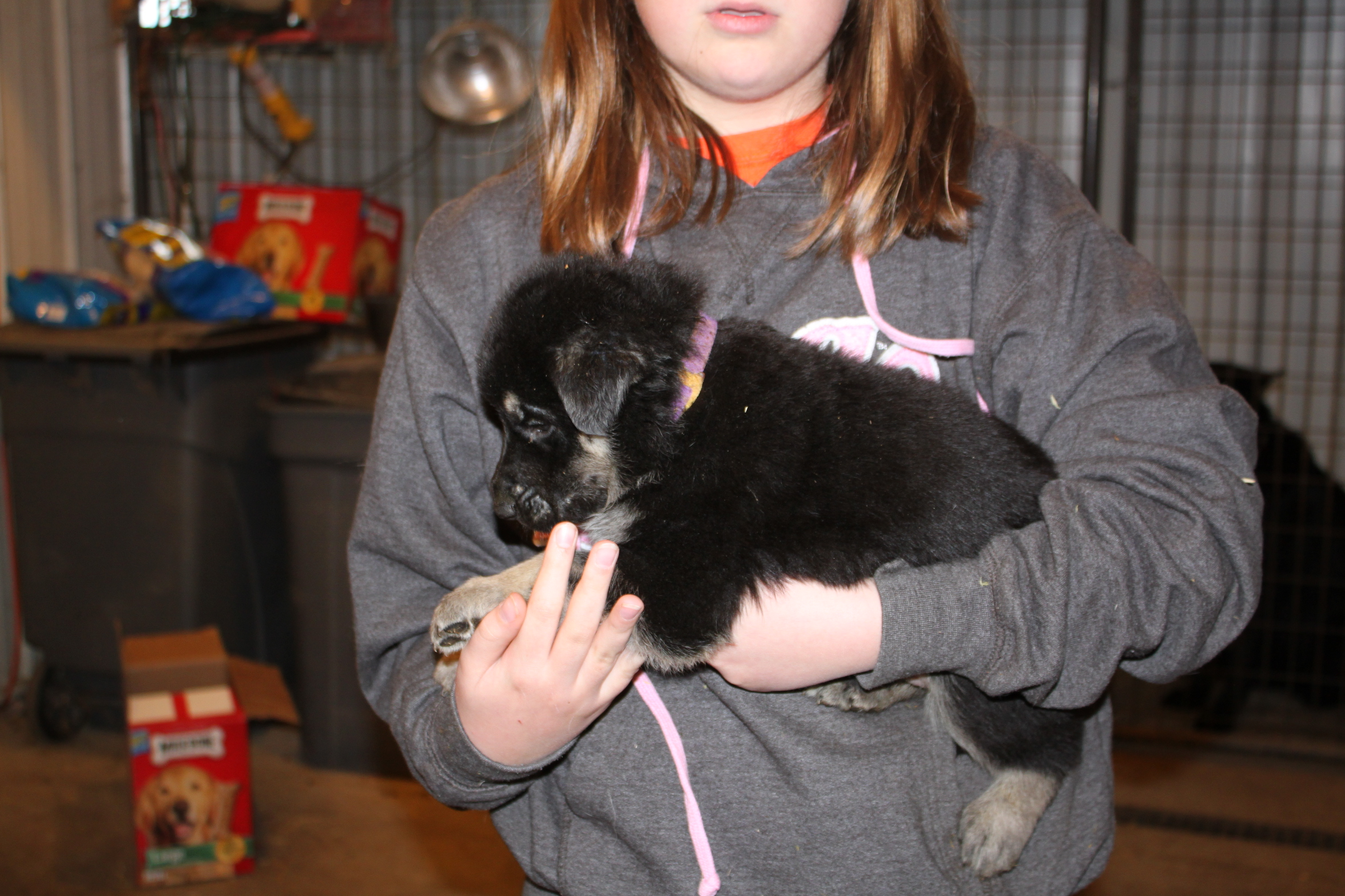 black and silver puppies for sale
