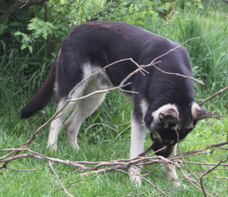 Black and Silver and Silver sable german shepherds all bred by ...