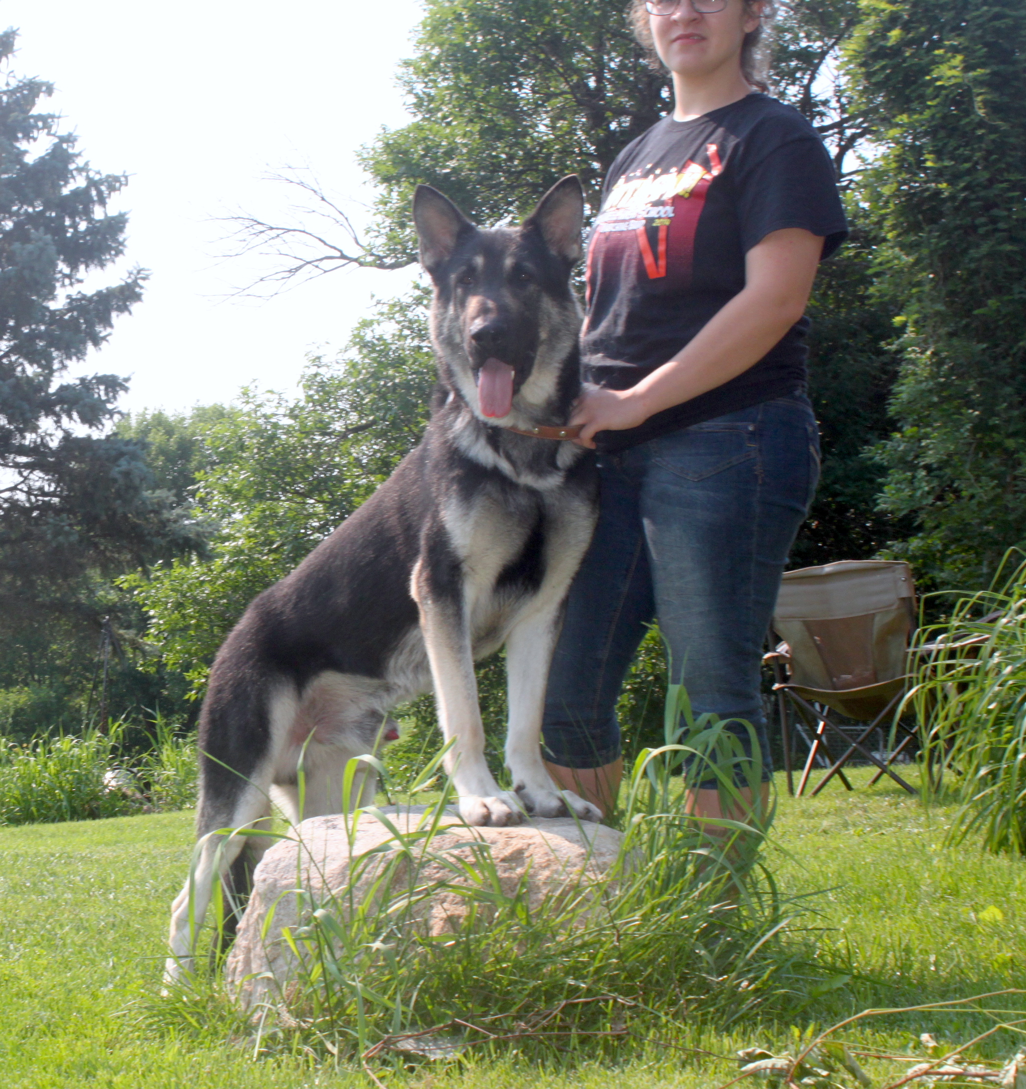 black and silver german shepherds for sale in Illinois