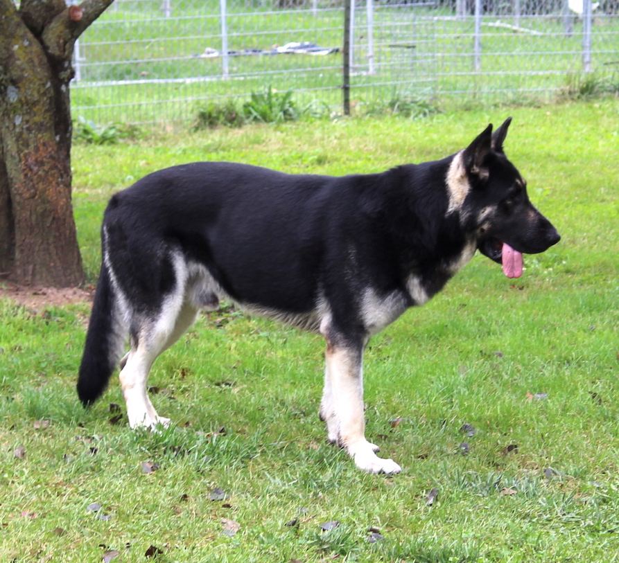big silver german shepherds