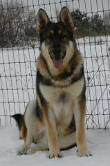 tri colir german shepherd