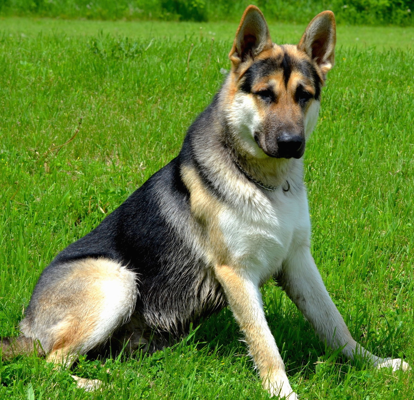 Tri colored german shepherd